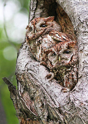 Screech Owl Photograph - Eastern Screech Owls by Mircea Costina Photography