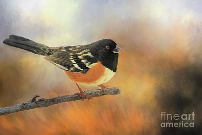 Photograph - Eastern Spotted Towhee by Janette Boyd