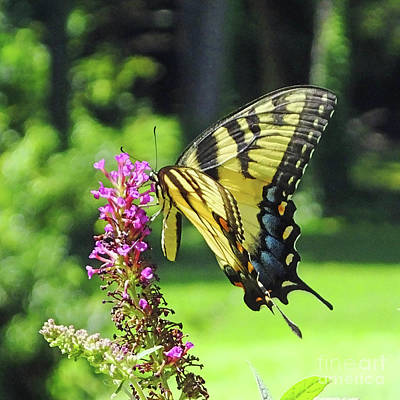 Photograph - Eastern Swallowtail 24 by Lizi Beard-Ward