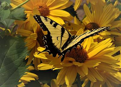 Photograph - Eastern Swallowtail by Amanda Balough