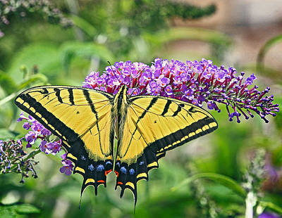 Photograph - Eastern Swallowtail by James Steele