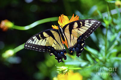 Photograph - Eastern Swallowtail by Patti Whitten