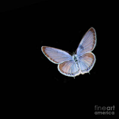 Photograph - Eastern Tailed Blue Butterfly Black Square by Karen Adams