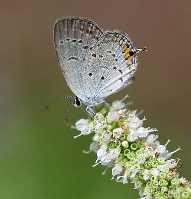 Butterfly Photograph - Eastern Tailed Blue Butterfly Square by Karen Adams