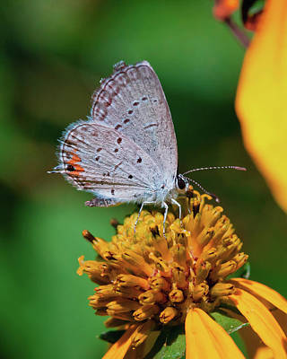 Anne Geddes Florals - Eastern-tailed Blue by David Lamb