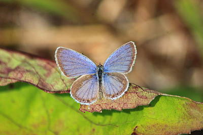 Photograph - Eastern Tailed Blue by John Burk