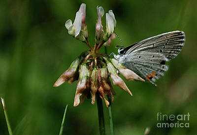 Photograph - Eastern Tailed-blue by Randy Bodkins