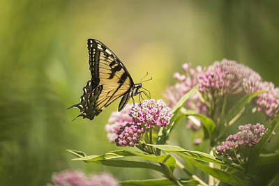 Swamp Milkweed Photograph - Eastern Tiger Swallowtail 1-2015 by Thomas Young