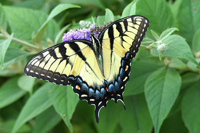 Photograph - Eastern Tiger Swallowtail 1 by Bill Jordan