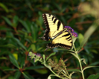 Photograph - Eastern Tiger Swallowtail-1 by Charles Hite