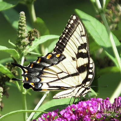 Photograph - Eastern Tiger Swallowtail 16 by Lizi Beard-Ward