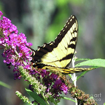 Photograph - Eastern Tiger Swallowtail 17 by Lizi Beard-Ward