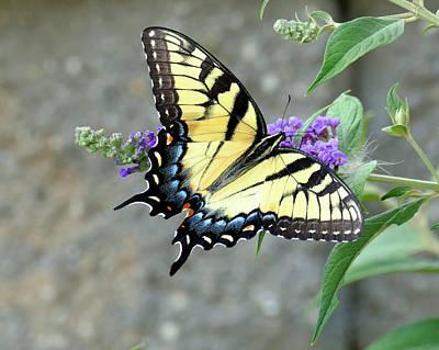 Photograph - Eastern Tiger Swallowtail 2 by Bill Jordan