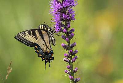 Photograph - Eastern Tiger Swallowtail 2017-1 by Thomas Young