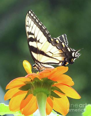 Photograph - Eastern Tiger Swallowtail 25 by Lizi Beard-Ward