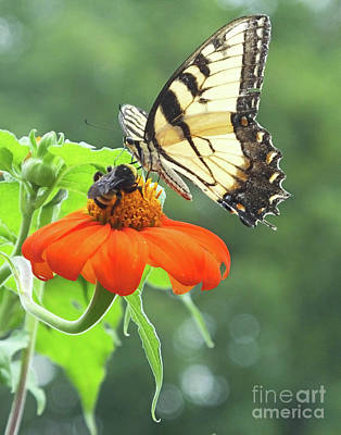 Photograph - Eastern Tiger Swallowtail 27 by Lizi Beard-Ward
