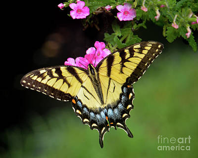 Photograph - Eastern Tiger Swallowtail by Amy Porter