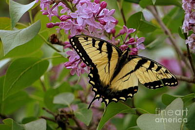 Photograph - Eastern Tiger Swallowtail by Brenda Bostic