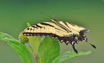Photograph - Eastern Tiger Swallowtail by Buddy Scott
