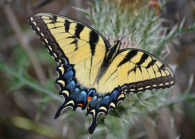 Photograph - Eastern Tiger Swallowtail Butterfly 1 - Papilio Glaucus by rd Erickson