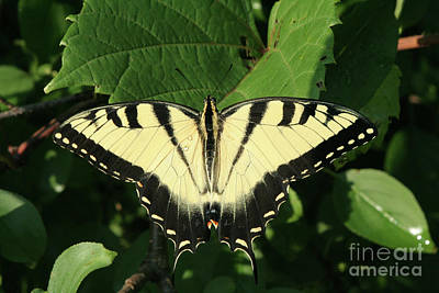 Tiger Photograph - Eastern Tiger Swallowtail Butterfly #2 by Judy Whitton