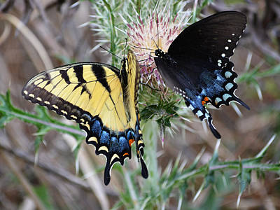 Photograph - Eastern Tiger Swallowtail Butterfly And Spice Bush Swallowtail Butterfly by rd Erickson