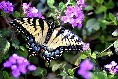 Photograph - Eastern Tiger Swallowtail Butterfly by Denise Bruchman