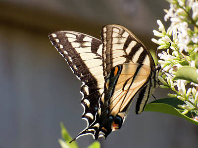 Photograph - Eastern Tiger Swallowtail  Butterfly Feeding by Leslie Montgomery