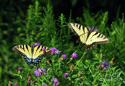 Photograph - Eastern Tiger Swallowtail Butterfly - Female And Male  by Kerri Farley