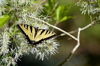 Photograph - Eastern Tiger Swallowtail Butterfly Fringe Tree by rd Erickson