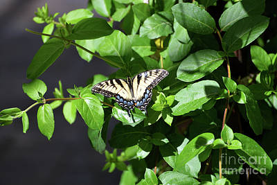 Photograph - Eastern Tiger Swallowtail Butterfly II by Denise Bruchman