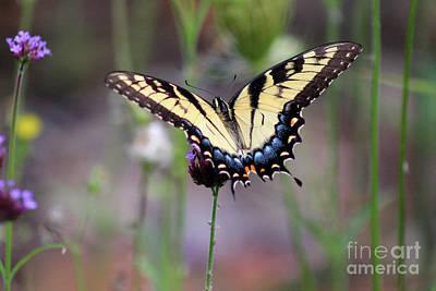 Photograph - Eastern Tiger Swallowtail Butterfly In Garden 2016 by Karen Adams
