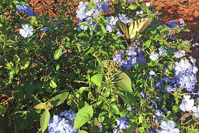 Photograph - Eastern Tiger Swallowtail Butterfly In Garden by Aimee L Maher Photography and Art Visit ALMGallerydotcom