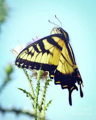 Photograph - Eastern Tiger Swallowtail Butterfly Is Lovely Company by Kerri Farley