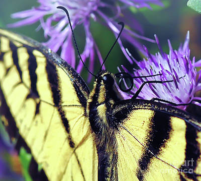 Photograph - Eastern Tiger Swallowtail Butterfly Macro by Kerri Farley