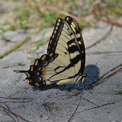 Photograph - Eastern Tiger Swallowtail Butterfly - Male by rd Erickson
