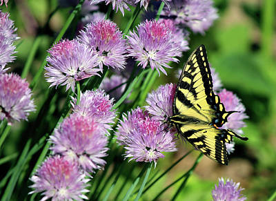 Blue Swallowtail Digital Art - Eastern Tiger Swallowtail Butterfly On Chive Blossoms by Codee Hart