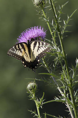 Photograph - Eastern Tiger Swallowtail Butterfly by Ron Grafe