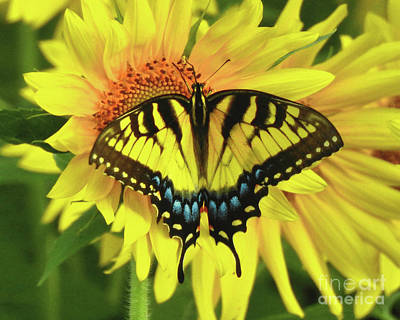 Photograph - Eastern Tiger Swallowtail Butterfly by Scott Cameron