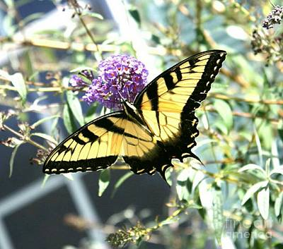 Southern Indiana Digital Art - Eastern Tiger Swallowtail Butterfly by Scott D Van Osdol