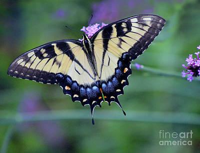 Photograph - Eastern Tiger Swallowtail Butterfly Tilt by Karen Adams
