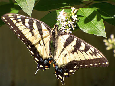 Photograph - Eastern Tiger Swallowtail  Butterfly Wingspan by Leslie Montgomery