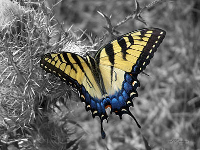 Photograph - Eastern Tiger Swallowtail Butterly On Monochrome Background by rd Erickson