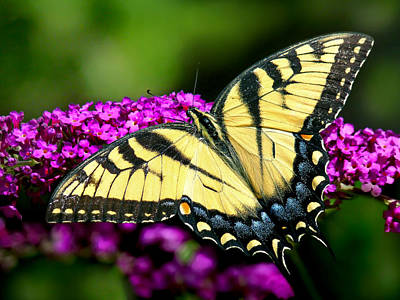 Photograph - Eastern Tiger Swallowtail by Carolyn Derstine