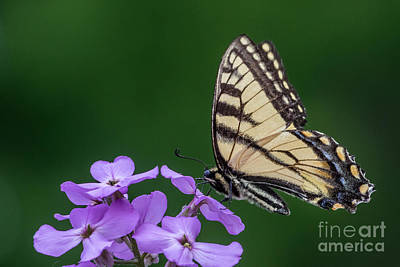 Photograph - Eastern Tiger Swallowtail by Darleen Stry