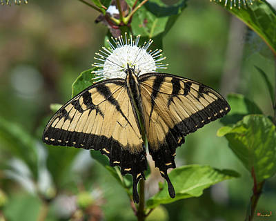 Photograph - Eastern Tiger Swallowtail Din0254 by Gerry Gantt