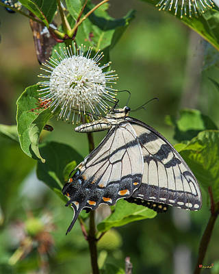 Photograph - Eastern Tiger Swallowtail Din0257 by Gerry Gantt