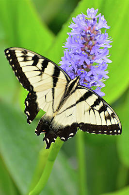 Photograph - Eastern Tiger Swallowtail by Don Mercer