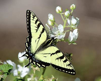 Photograph - Eastern Tiger Swallowtail Female by David Pickett