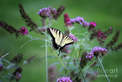 Photograph - Eastern Tiger Swallowtail In Meadow by Karen Adams